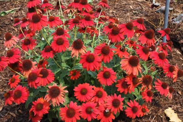Echinacea Salsa Red8