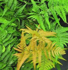 Dryopteris labordei 'Golden Mist'