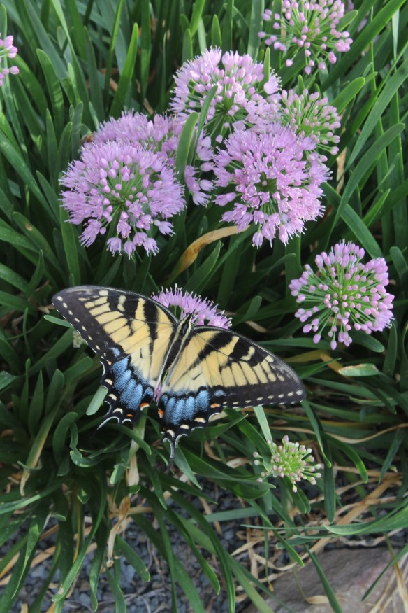 Allium Millenium with yellow swallowtail2