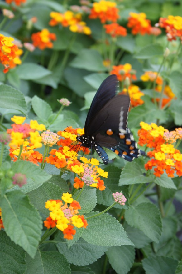 Lantana camara Star Landing with butterfly (62966)
