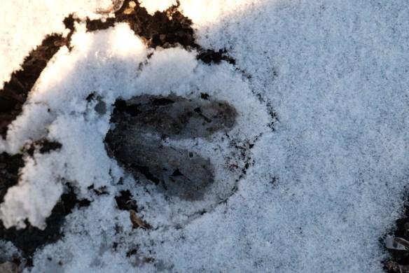 Deer tracks in ice2