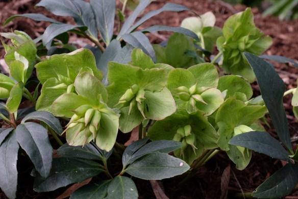 Helleborus niger Jesko forming seed