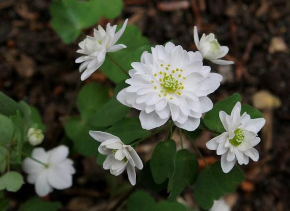 Anemonella thalictroides Double White(64573)