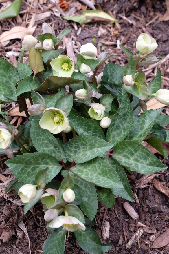 Helleborus x ballardiae HGC Spring Party clump in flower