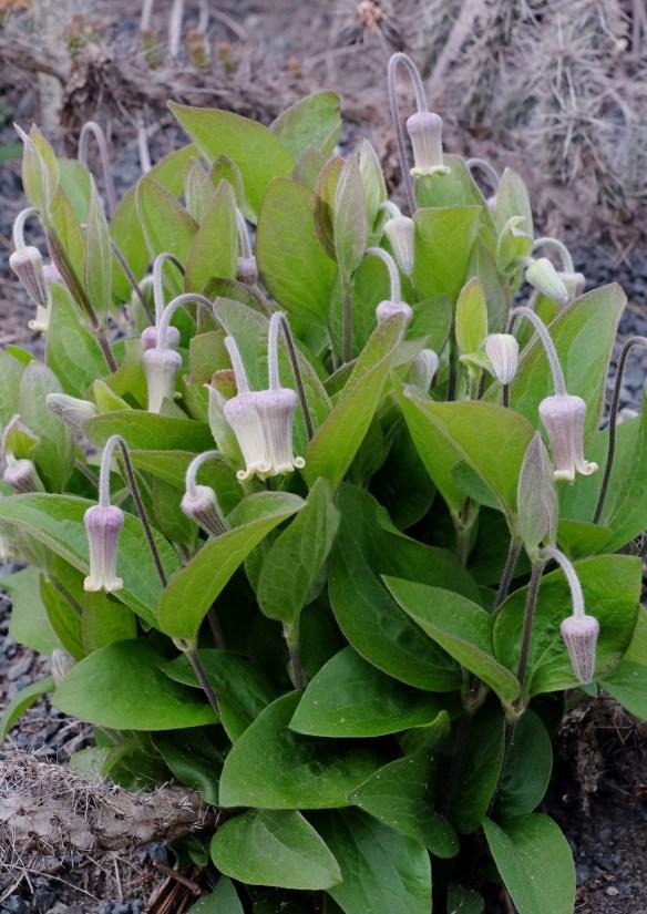 Clematis ochroleuca Penny's Bend in flower