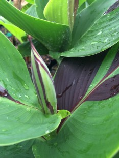 Picture of Canna 'Cleopatra' leaf and flower bud