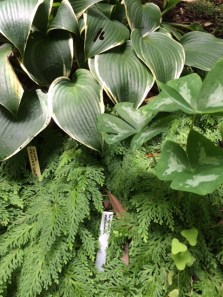 garden planting of Hosta, Oxalis, and Selaginella