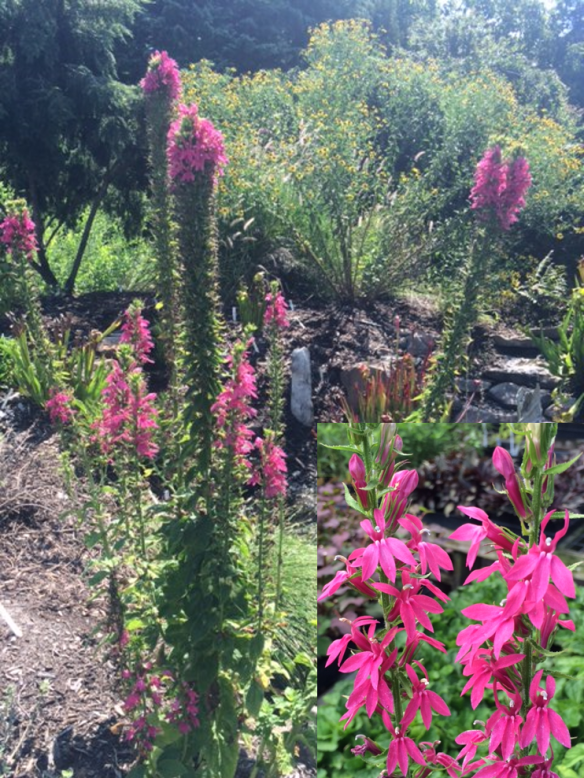 picture of Lobelia Monet Moment in the garden with close up of flowers