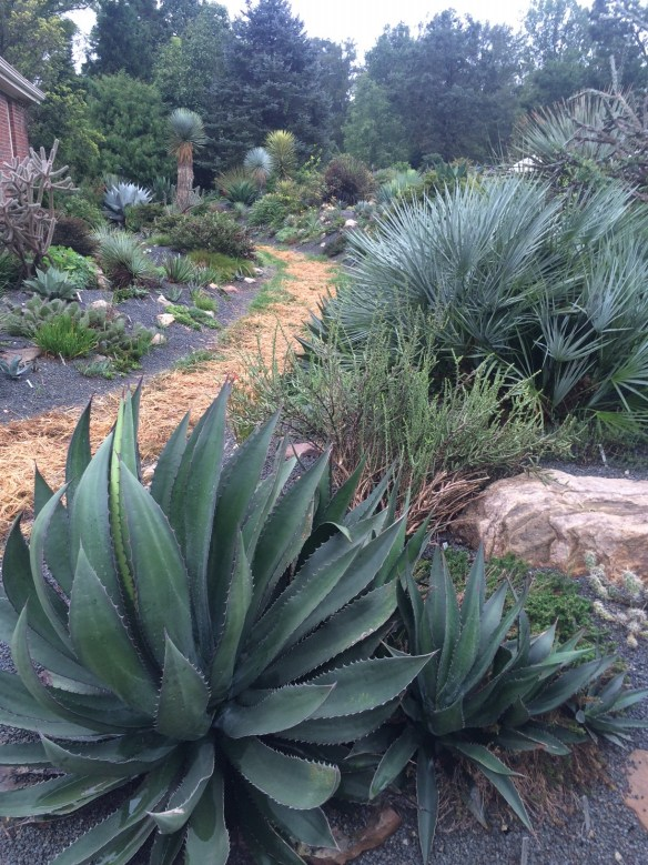 picture of the garden berms with agave