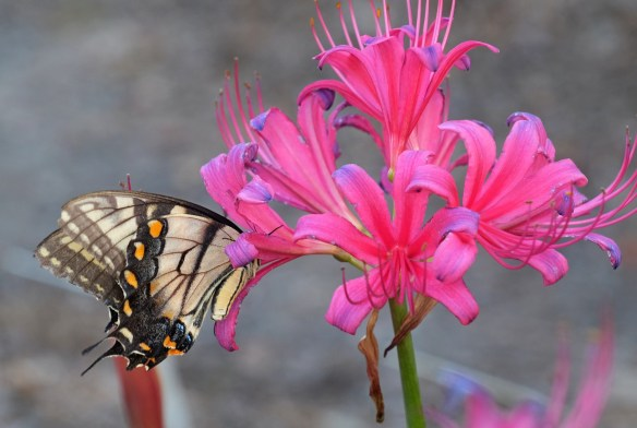 Lycoris x rosea with Eastern Tiger Swallowtail
