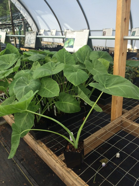 picture of Colocasia Thailand Giant in sales house