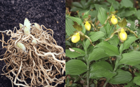 picture of bare root cypripedium pubescens