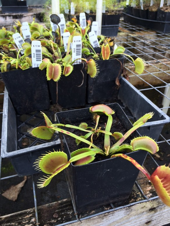 Picture of Dionaea King Henry