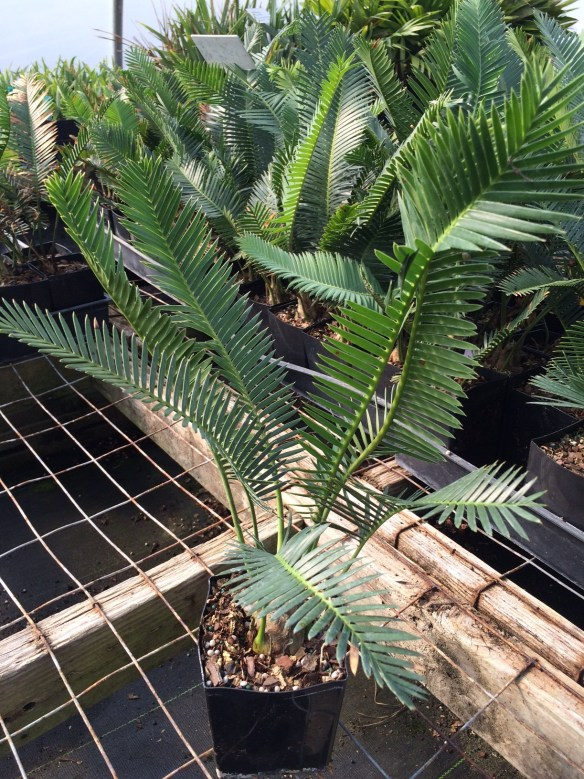 picture of Dioon Palma Sola - Mexican Sago Palm