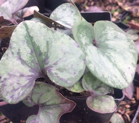 picture of Asarum-Silver Spreader GH