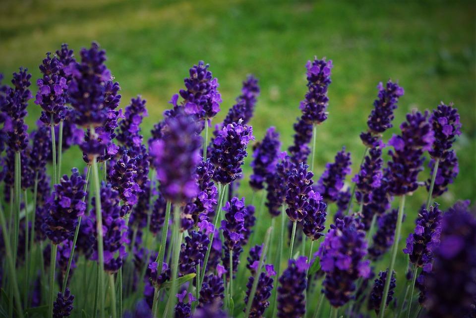 alfazema - planta medicinal
