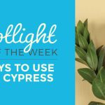 Top 4 Ways To Use Blue Cypress Essential Oil Everyday Essentials
