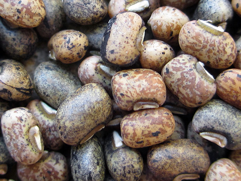 Biotechnology aiding the fight against cowpea pest damage in Africa