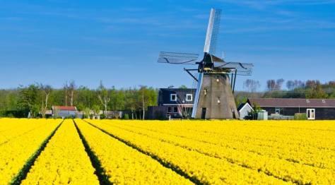 Haarlem Tulips
