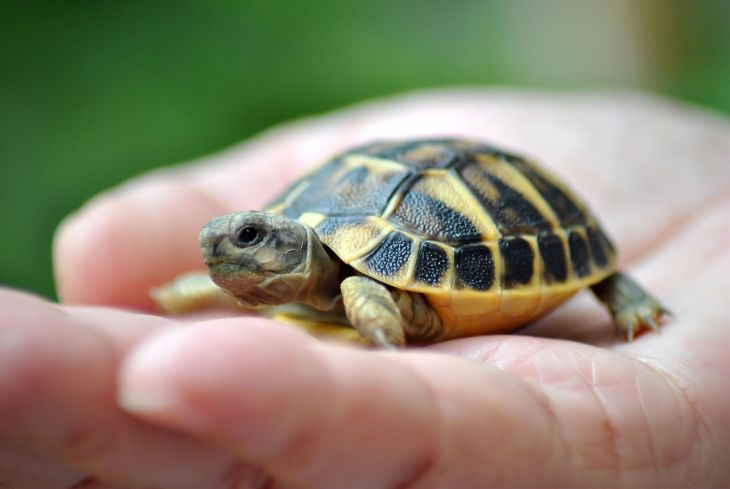 Pet-turtle-GettyImages-163253309-58da61e53df78c516256c1c6