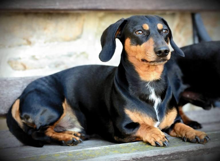 raças de cachorro para apartamento dachsund