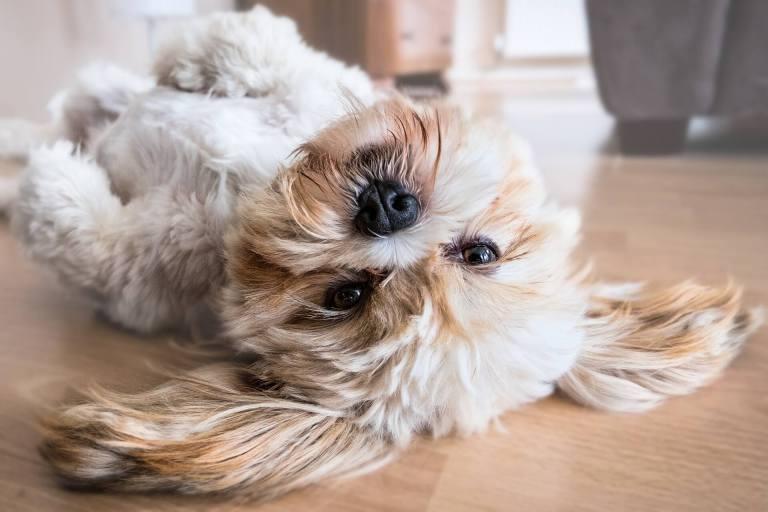 raças de cachorro para apartamento lhasa apso