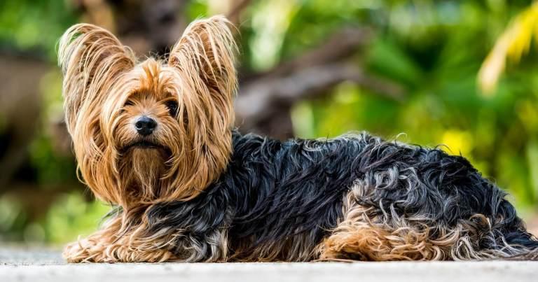 raças de cachorro para apartamento yorkshire terrier