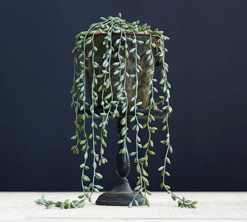 donkey-tail-succulent-stem-z