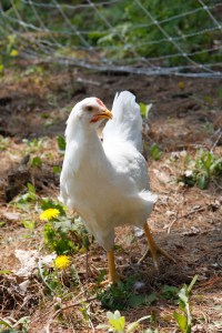 First Root Farm Chickens #15