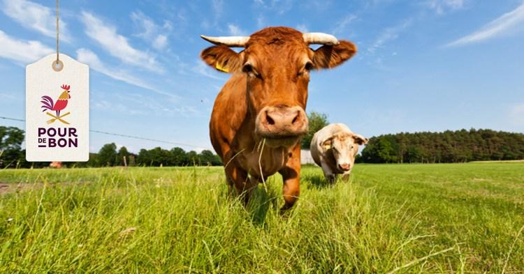 Quelles sont les races bovines à viande ?