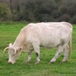 races bovines pourdebon