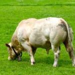 races bovines poudebon