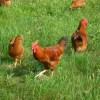 comment choisir un poulet fermier pourdebon