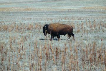viande de bison origine france