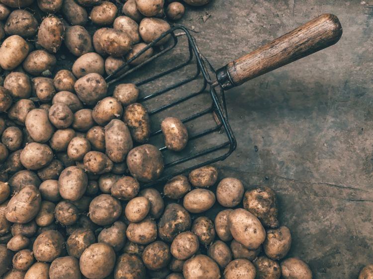 pommes de terre adora