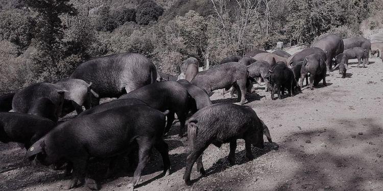 le cochon corse : la race nustrale