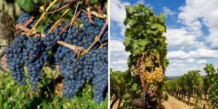 Les vins de Bordeaux sont caractérisés par des cépages emblématiques, comme le Merlot côté rouge et le Sémillon côté blanc.