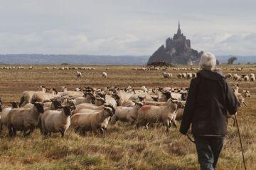 L'élevage d'agneau de pré-salé de la Ferme des Obiones, à deux pas du Mont Saint-Michel