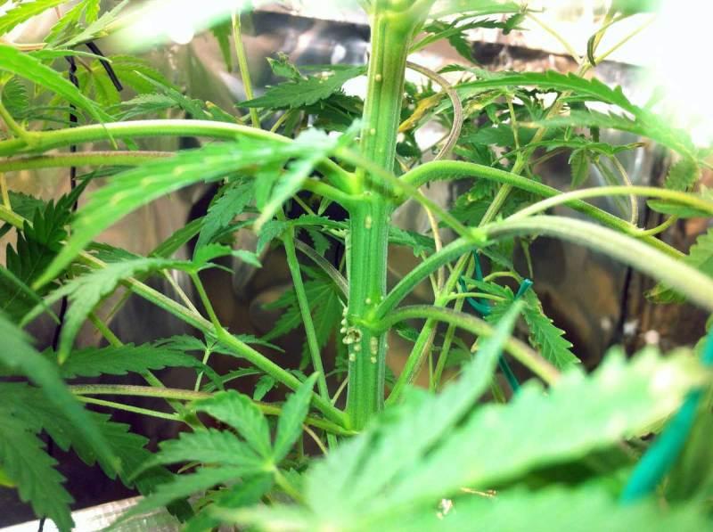 controlar as pragas mais comuns na plantação de maconha