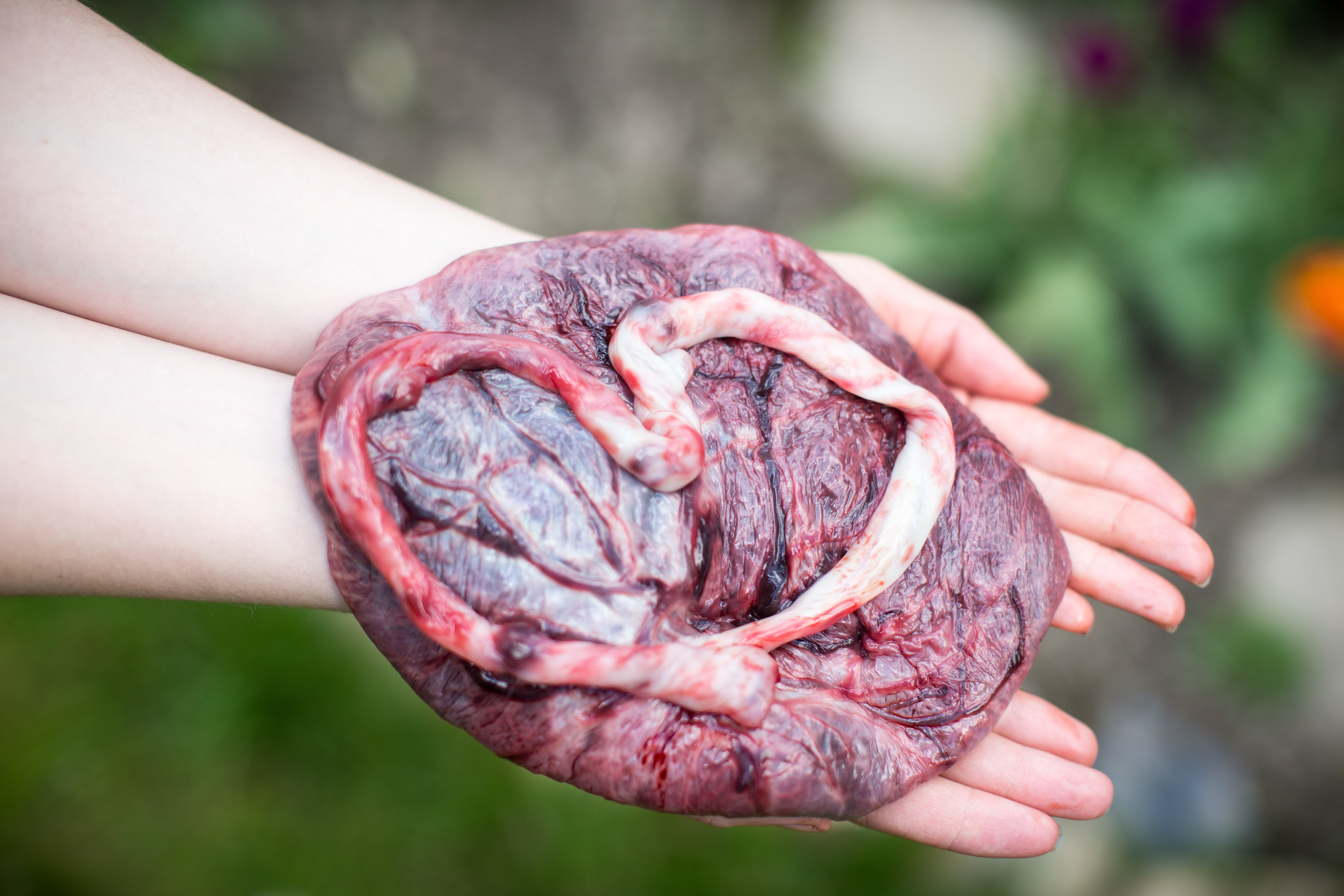What Is The Placenta And What Does It Do  The Pulse