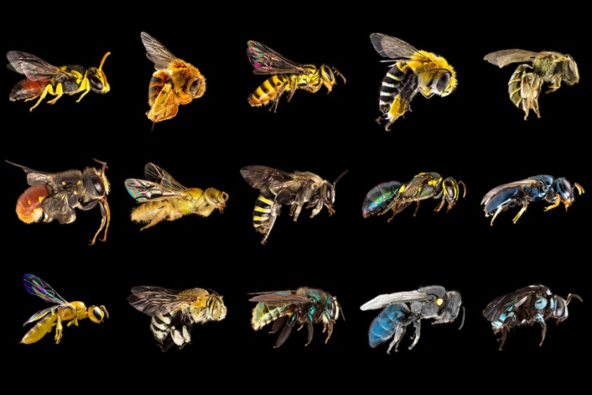 A selection of Australian native bees