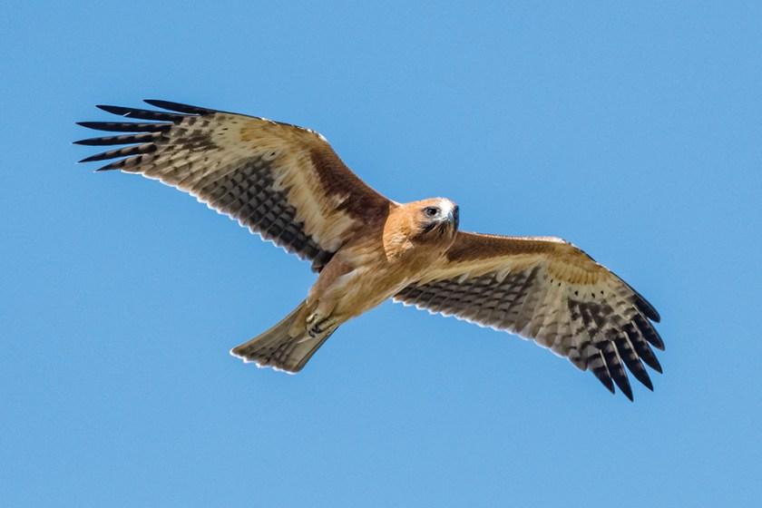 Little eagle juvenile flying