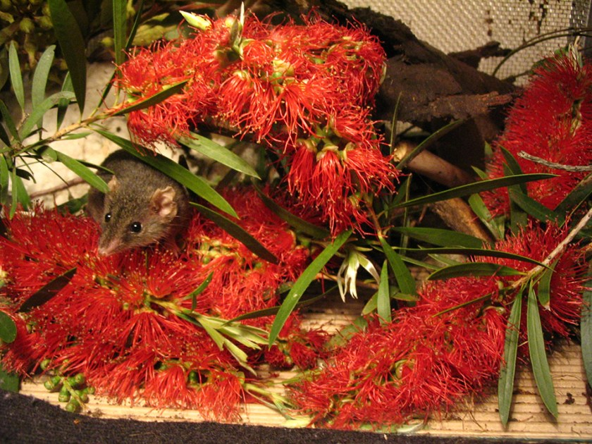 Antechinus surrounded by native flowers