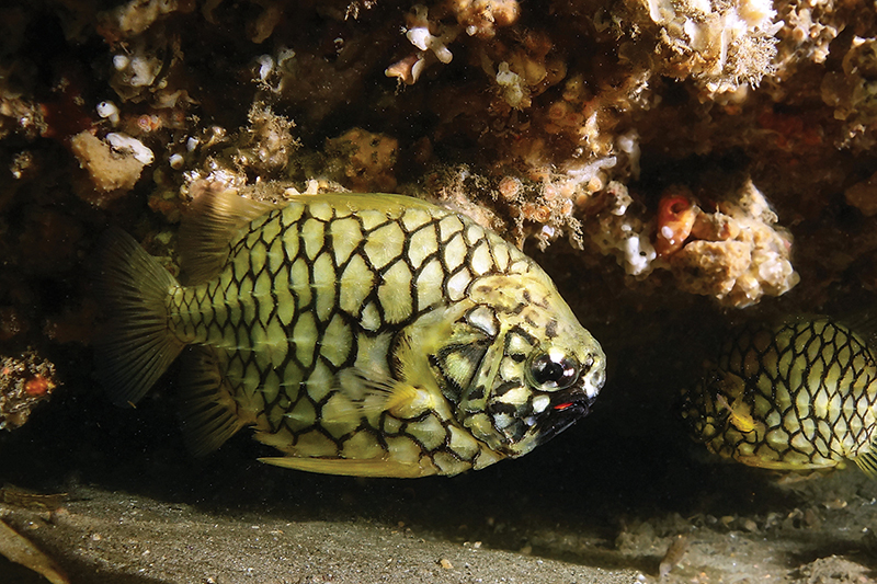 A pineapple fish in a sea cave
