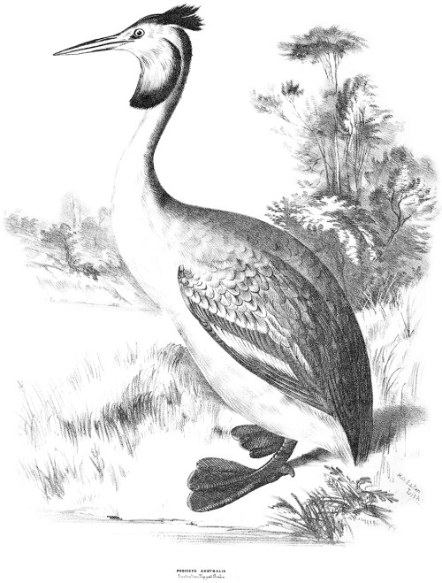 Black and white drawing of a Great Crested Grebe