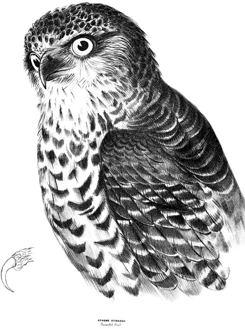 Black and white drawing of a Powerful Owl looking sideways at the viewer