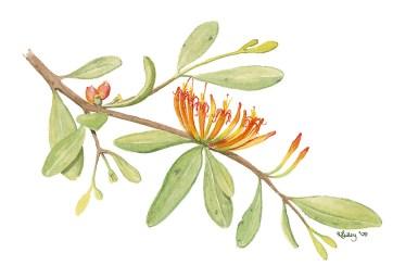 Illustration of Long-flowered Mistletoe in flower