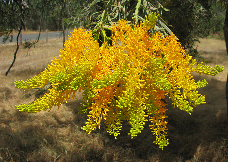 Western Australian Christmas Tree in flower
