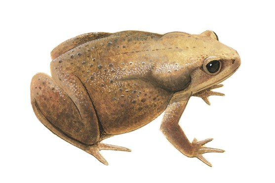 Side profile illustration of a brown frog with paler head and black eyes.
