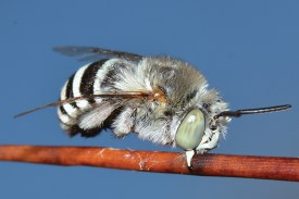 A fluffy-looking bee gripping a plant stem with its mandibles, its legs folded away. It has milky eyes, a white face, white-grey hairs over its body, and a white and black striped abdomen.